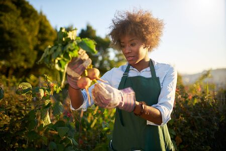 African american woman inspecting beets just pulled from the dirt in community urban garden