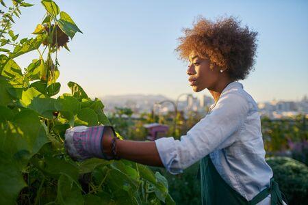 African american woman tending to crops in communal urban garden Standard-Bild