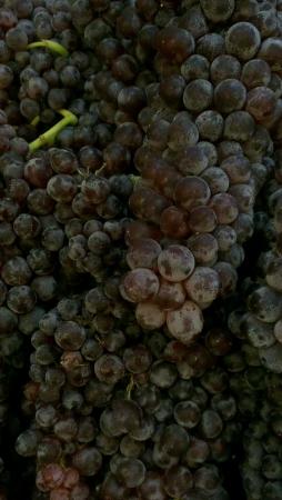 uvas vino: Las uvas de vino tinto Foto de archivo