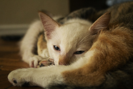 Cute kitten sleeping after playing with other cat. Adorable white kitten with blue eyes relaxing on the floor.