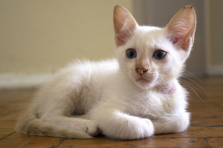 Adorable white kitten with blue eyes relaxing on the floor.