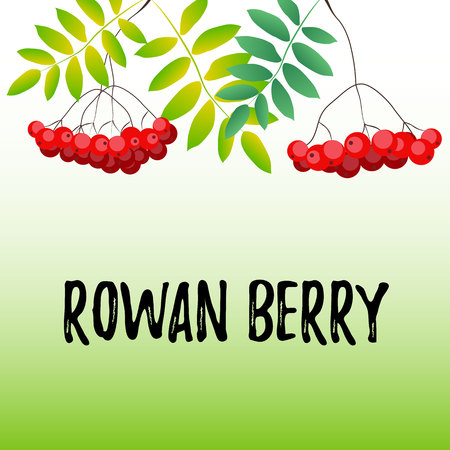 Lettering of Rowan berry on green background decorated with rowan berries and leaves in red, green for poster, banner, decoration, book