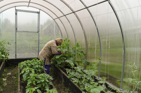 Woman on a summer residence in the greenhouse corrects cucumber seedlings.