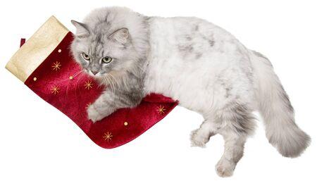 Christmas cat photo