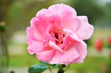 rosa: Rosa chinensis in pink Stock Photo