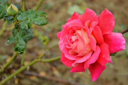 rosa: Rosa chinensis in red Stock Photo