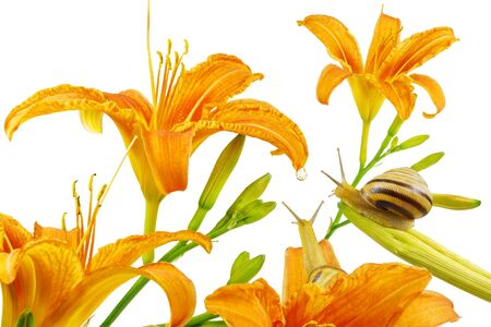Lily flowers and two snails looking at water drop. Фото со стока
