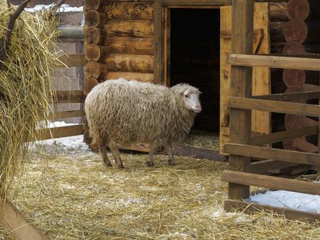 Long-haired sheep in a pen near wooden barn Фото со стока
