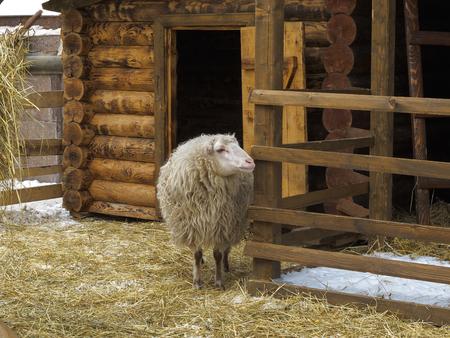 Long-haired sheep in a pen in winter near wooden barn