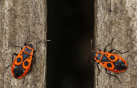 Firebug. Two red firebugs, pyrrhocoris apterus on the wooden surface.