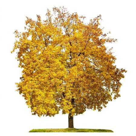 Maple tree, yellow foliage, autumn season, isolated on white background.