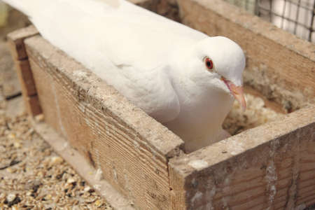 brooding: White dove in the nest brooding its egg Stock Photo