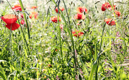 Red poppies on spring meadow photo