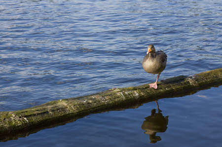 freshwater bird: Duck climbed on a trunk floating in a lake