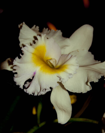 white orchid flower isolate on black background photo