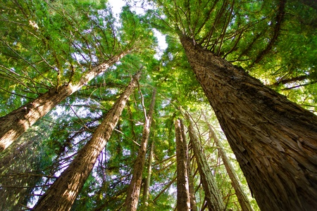 Redwood Trees  photo