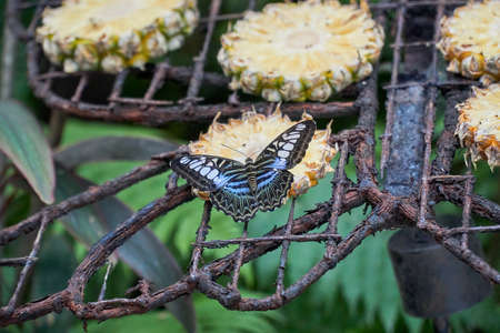 Blue and black colored butterfly pollinating or eating small pineapple