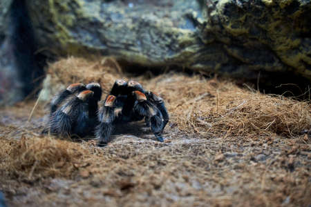 Selective focus of mexican red knee tarantula on the ground Stockfoto