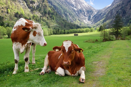 Two cows in the Alpine mountains, in Austria