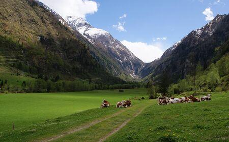 cows on the alpine mountain pasture, in Austria
