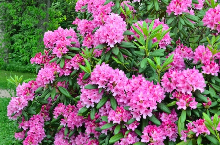 Flowering pink rhododendron in the garden Stock Photo