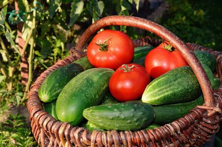 Harvest of cucumbers and tomatoes in a basket