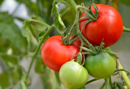 red and green tomatoes in the garden photo