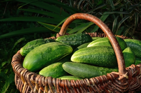 Harvest of cucumbers in a basket