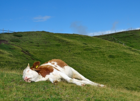 sleeping cow on a high mountain pasture in Alps, Italy 版權商用圖片