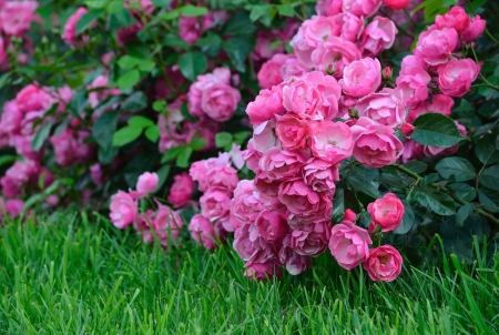Flowering pink roses in the garden, shallow depth of field photo