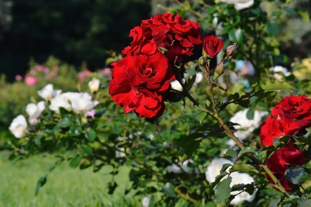 Flowering red roses in the garden, shallow depth of field Stock Photo