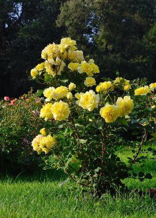 Flowering yellow roses in the garden, shallow depth of field