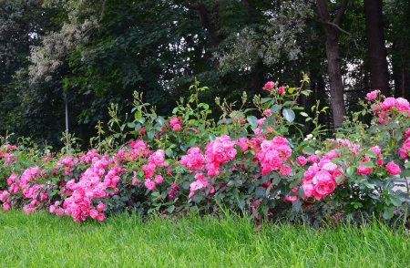 Flowering pink roses in the garden Stock Photo