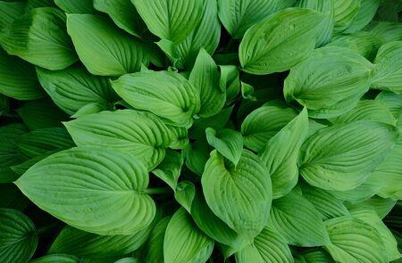 Green hosta leaves Reklamní fotografie