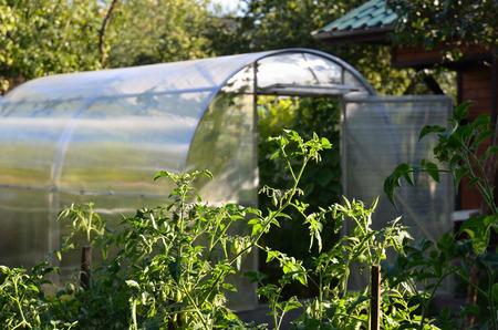 tomato plants and greenhouse in backyard Reklamní fotografie
