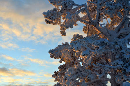 Tree with branches covered with snow in sunset light. Beautiful winter in Lapland Stock Photo