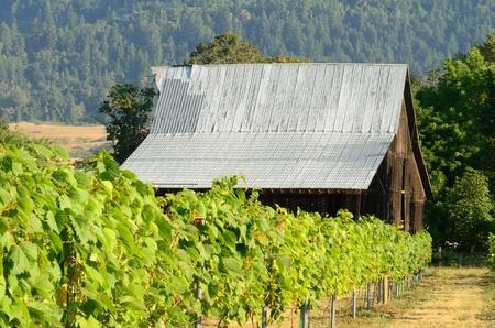 A old barn and grapes at a Umpqua Valley winery near Roseburg Oregon