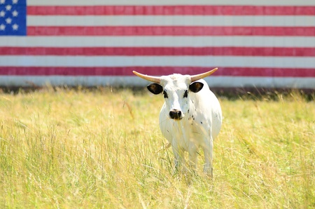 Texas longhorn steer in a field with a american flag painted on a barn photo