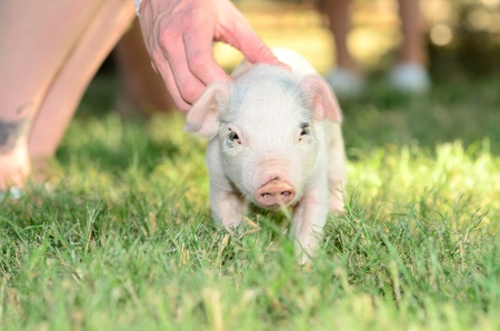 cute pig: Small one month old weiner pig, Yorkshire cross in a grass field. Stock Photo