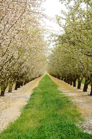 Almond orchard in the Central California agricultural area Stok Fotoğraf
