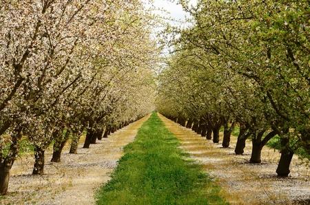 中央カリフォルニアの農業地域でアーモンド果樹園
