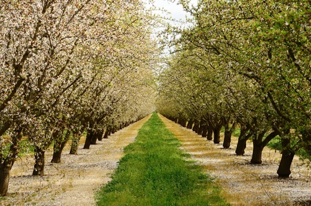 Almond orchard in the Central California agricultural area Stockfoto