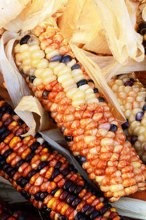 Decorative autumn corn in a bin at a local truck farm stand in Roseburg Oregon Stock Photo - 11134187