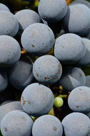 Merlot grapes ripening on the vine in the Umpqua Valley of Southern Oregon Stock Photo - 11202445