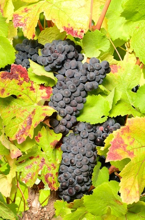 pinot noir: Pinot Noir grapes ready for harvest for wine production, Umpqua Valley Oregon