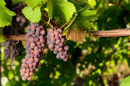 Pinot Gris grapes ready for harvest for wine production, Umpqua Valley Oregon