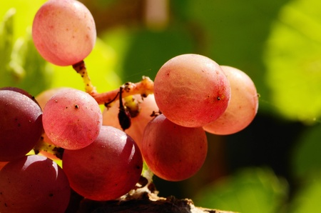 pinot: Pinot Gris grapes ready for harvest for wine production, Umpqua Valley Oregon