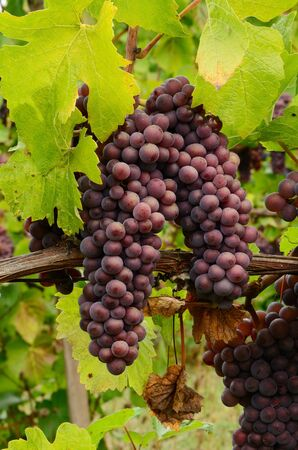 pinot noir: Pinot Noir grapes on the vine in the Umpqua Valley of Oregon