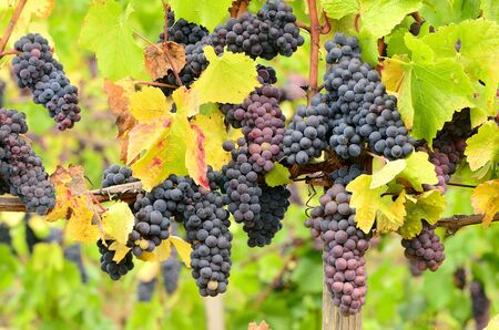 pinot: Pinot Noir grapes on the vine in the Umpqua Valley of Oregon
