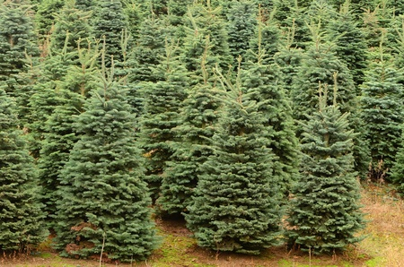 Fir trees waiting for Christmas, one of Oregon